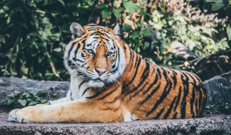 A four-year-old Malayan tiger at the Bronx Zoo was the first animal to test positive for COVID-19.