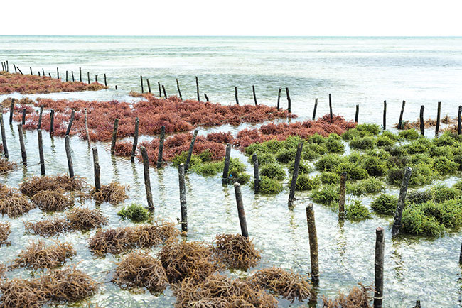 Scientists+Hope+Seaweed+Farming+Will+Reverse+Climate+Change